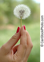 Hand holding dandelion - Girls hand with red nails holding...