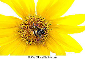 Bumblebee on a sunflower - Isolated fresh sunflower with...