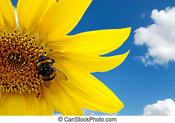Bumblebee on a sunflower - Fresh sunflower with hard working...