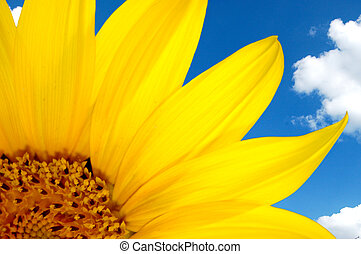 sunflower and blue sky - Fresh sunflower against blue sky