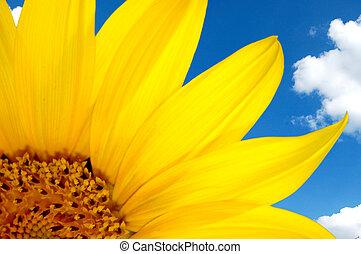 sunflower and blue sky - Fresh sunflower against blue sky