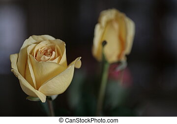 Yellow Roses - Two Yellow Roses Shot in my Garden in...