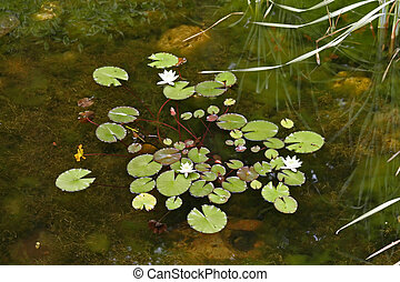 Lily Pads Float above a shallow pond
