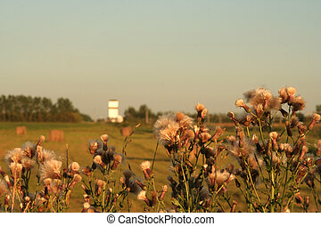 Thistles in a field - thistles are in the foreground with a...