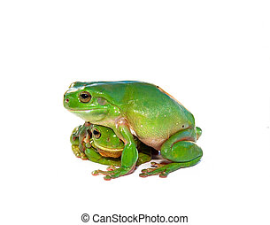 frog being consoled - two green frogs (litoria caerula) one...