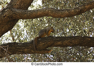 Eastern Fox Squirrel perched on tree brance