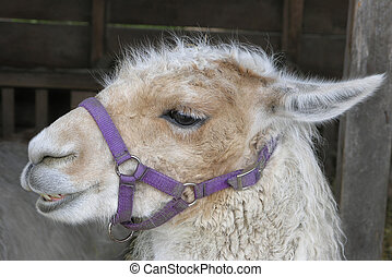 Llama with Halter - A Llama tied up at a show