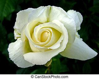 Rosebud - Close up shot of rose bud flower