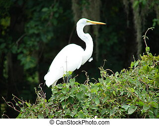 white heron - a large white heron in a Florida swamp
