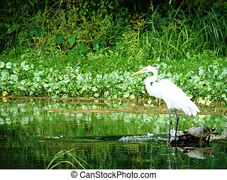 white heron on the water - a white heron on a swamp in...
