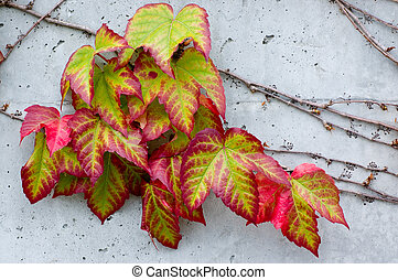 Colorful Ivy - Boston Ivy Parthenocissus tricuspidata on a...
