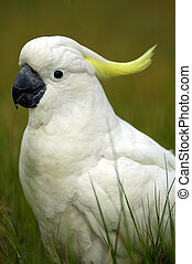 white parrot with yellow feathers on head