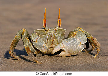 Ghost crab - Alert ghost crab (Ocypode spp.) on the beach,...