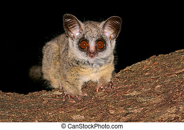 Lesser Bushbaby - Portrait of the nocturnal Lesser Bushbaby...