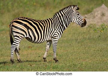 Plains Zebra - Plains (Burchells) Zebra (Equus quagga),...