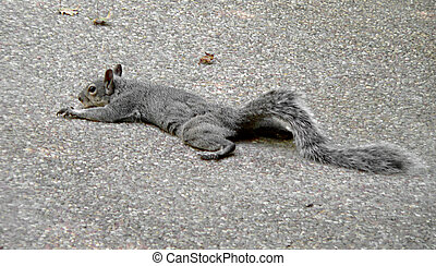 Lazy Squirrel - A squirrel warms himself on cement in the...