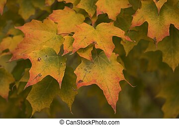 Changing Maple - Beautiful changing maple leaves