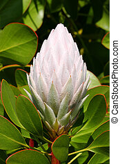 Pale Pink Protea Cynaroides - The pale pink bud of Protea...