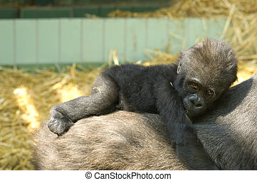Baby Gorilla - A baby Gorilla on its mothers back