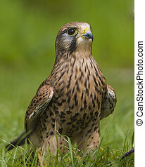 European Kestrel - Jackie, Kestrel - Falco tinnunculus, at...