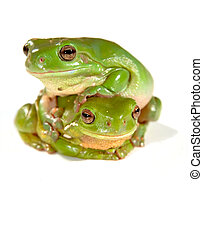 two frogs - two green frogs climbing on top of each other...