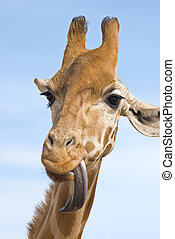 giraffe looking stupid - a close up of a giraffe with its...