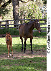was that you? horse and foal - a foal is walking off while...