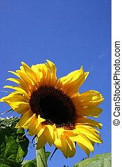 Sunflower Bloom - Sunflower bloom in summer garden