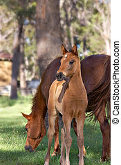 horse and foal - a young horse foal looks at the camera in...