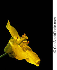 small yellow Brassica napus - This is a flower of a rape...