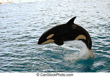 Killer whale jumping - Killer whale is jumping in the water