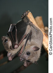 Two bats hanging on the - Microchiroptera Two bats hanging...