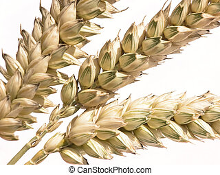 corn - Close-up of wheat corn straw against white background