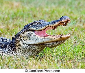 norteamericano, Aligator
