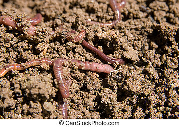 composting worms burrowing through the dirt in the garden