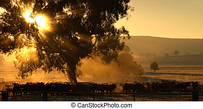 morning cows - sun rays coming through the trees over a herd...