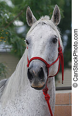 Gray Horse - Gray horse with red halter.