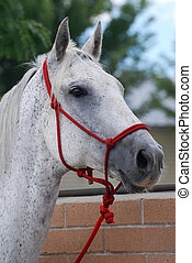 Gray Horse - Gray horse with red halter looking away.