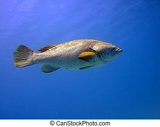 Grouper - Big grouper in blue. Red Sea