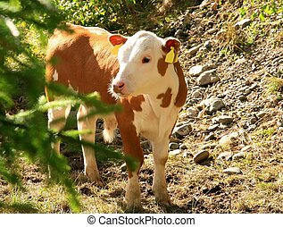 cute calf - Cute white and red calf outdoor in summer