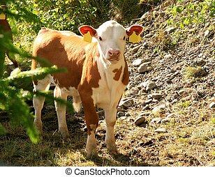 Cute calf - Cute brown and white calf in a summer landscape