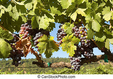 grapevine - young grapes on a grapevine in Napa Valley