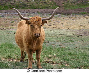 Long Horns - A longhorn-highland crossbred steer with long...