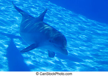 Dolphin - Bottlenose dolphin swimming by in an aquarium