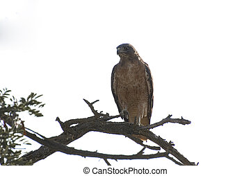 Red-tail Hawk - Red tail hawk perched on a branch