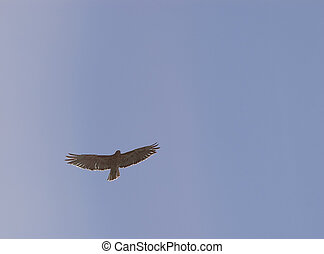 Red-tail Hawk - Red tail hawk flying overhead