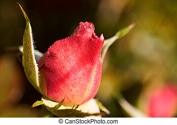 rosebud in the morning
