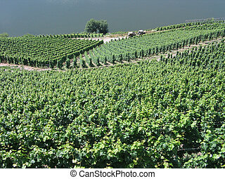 Vineyards in Mosel Germany - Vineyards grapes fields on the...