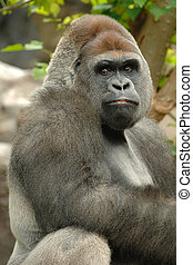 Gorilla is posing - Gorilla is lokking into the camera