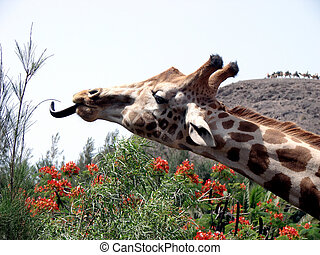 Giraffe with long tongue - The giraffe tried to reach a tree...
